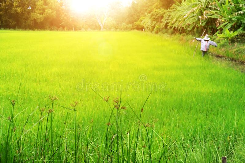 Rice paddy field of agricultural at rural in Thailand.  stock photos