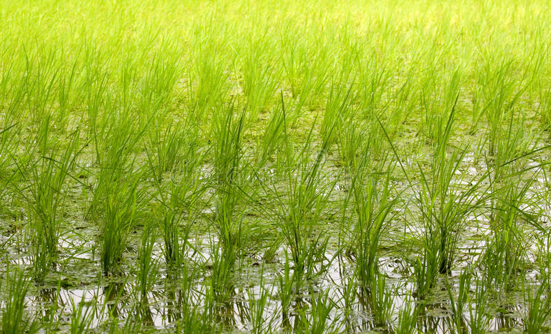 Rice Paddy Field Background Stock Images
