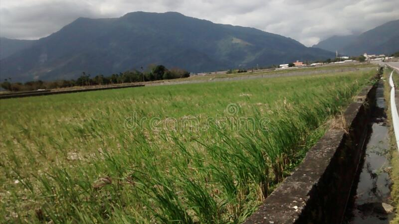 Rice paddy landscape stock image