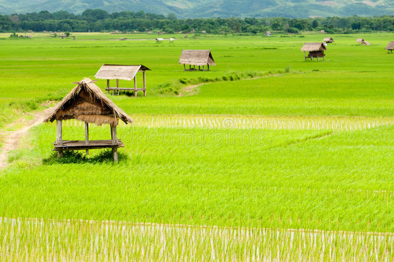 Rice paddy in luang namtha valley, Laos royalty free stock photo