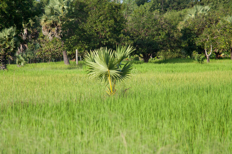 Rice paddy with palm tree royalty free stock photo