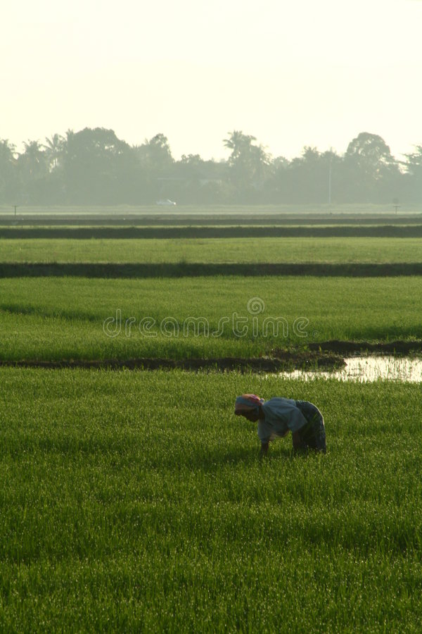Download Rice Paddy Worker stock photo. Image of harvest, work - 1424950
