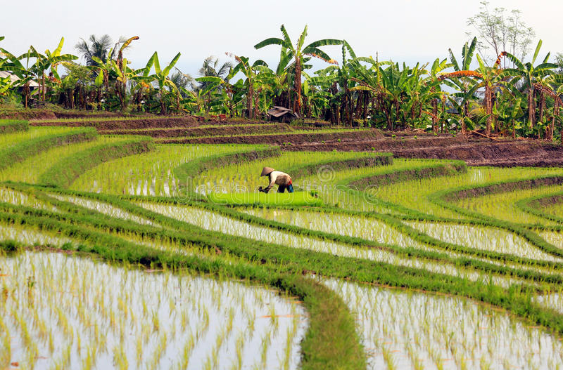 Download Rice paddy with worker stock photo. Image of rice, east - 25618172