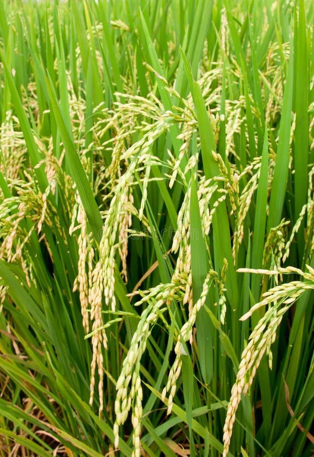 Free Rice Padi Royalty Free Stock Images - 18403209