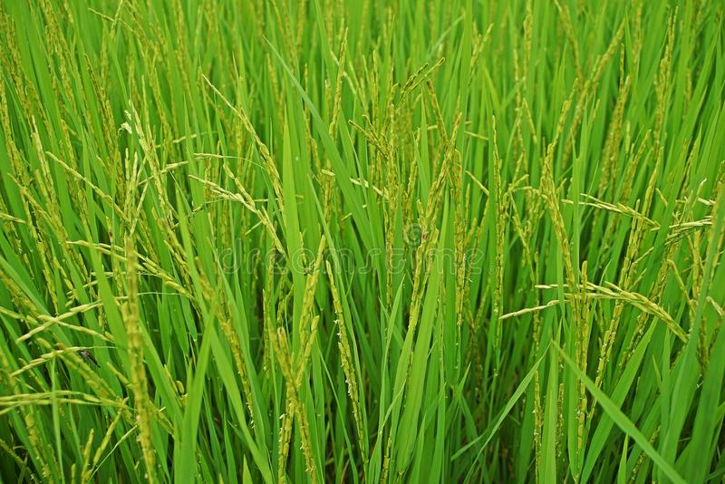 Rice panicle, paddy field Thailand. Rice panicle, wet sown rice, paddy field Thailand stock image
