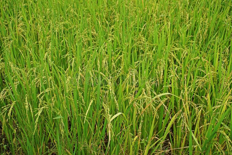 Rice panicle, paddy field Thailand. Rice panicle, wet sown rice, paddy field Thailand royalty free stock image