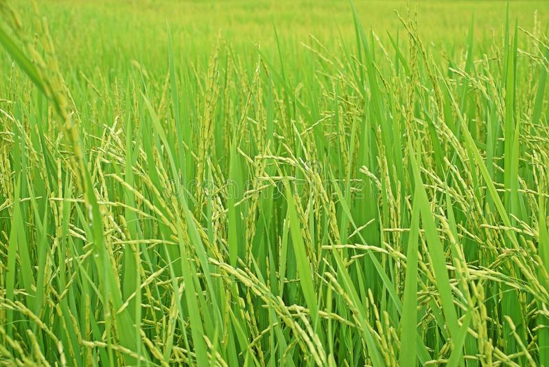 Rice panicle, paddy field Thailand. Rice panicle, wet sown rice, paddy field Thailand royalty free stock photos