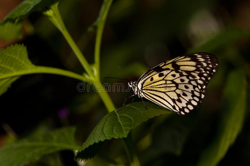 Rice Paper Butterfly stock image