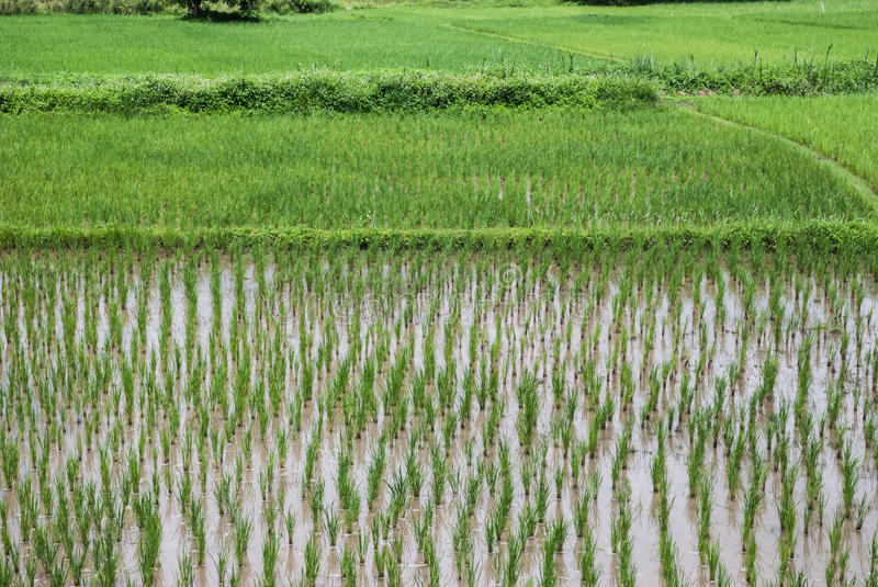 Download Rice plant stock image. Image of leaf, field, asia, flora - 26634429