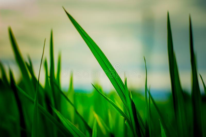 Rice Plant in the Afternoon stock photo