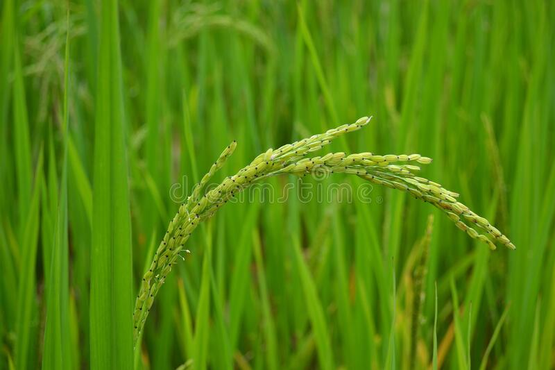 Rice plant, close-up of cob of green rice on field royalty free stock photo