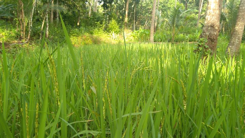 Rice plant. Rice cultivation water deficient area stock photos