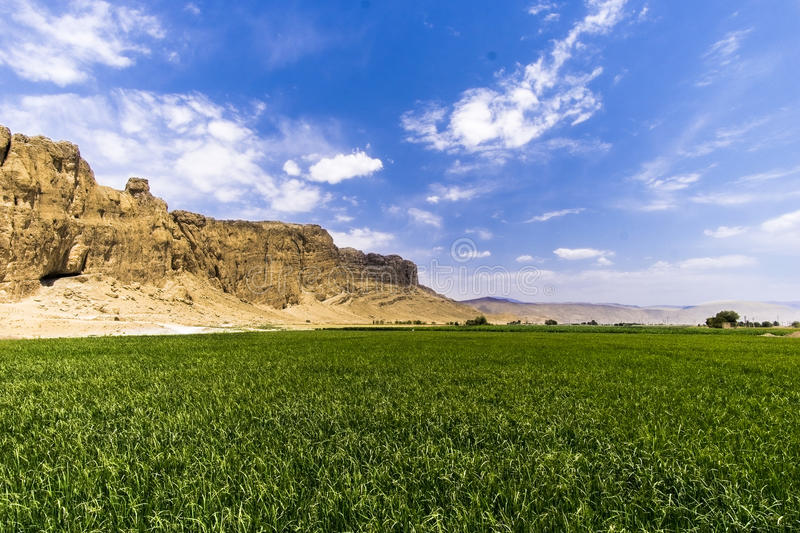 Rice plant in the desert. In Iran you can found landscapes like tis one. A rice plantation besides the desert stock image