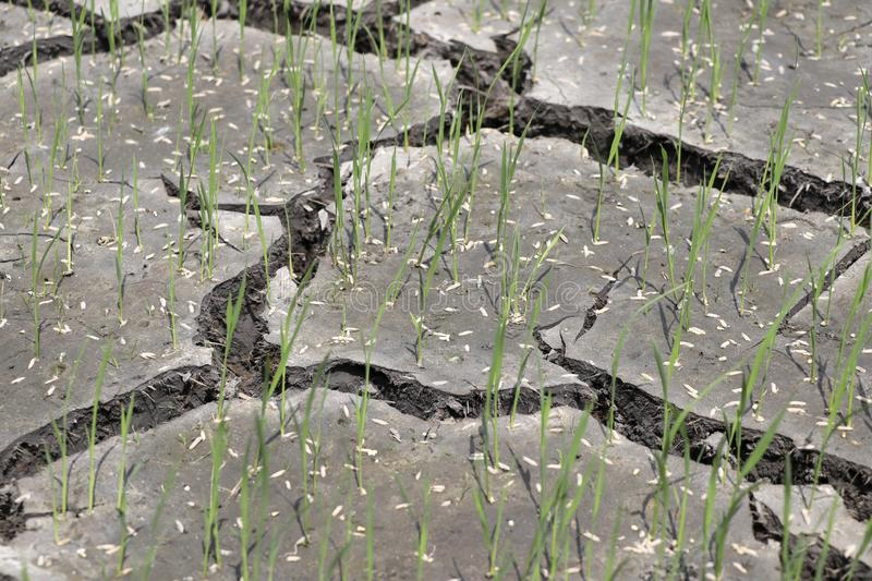 The rice plant is growing out of the grain. That is sown in the ground that is broken stock photography
