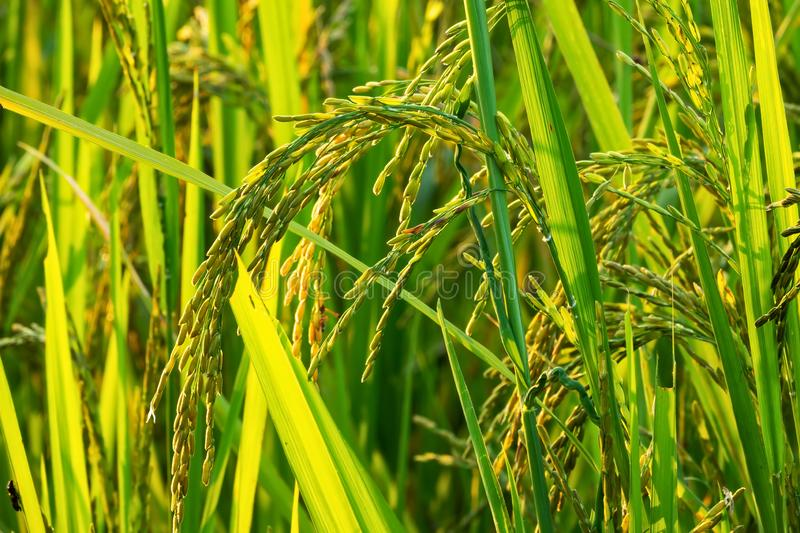 Rice Plant In Rice Paddy stock images