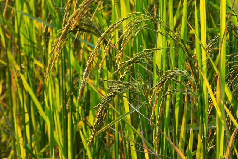 Rice Plant In Rice Paddy royalty free stock photo