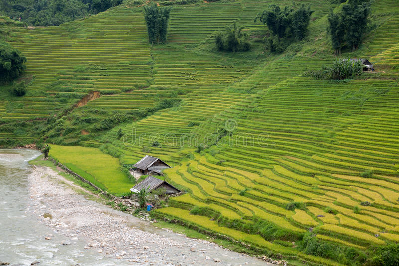Download Rice plantation stock photo. Image of agriculture, lush - 26644498
