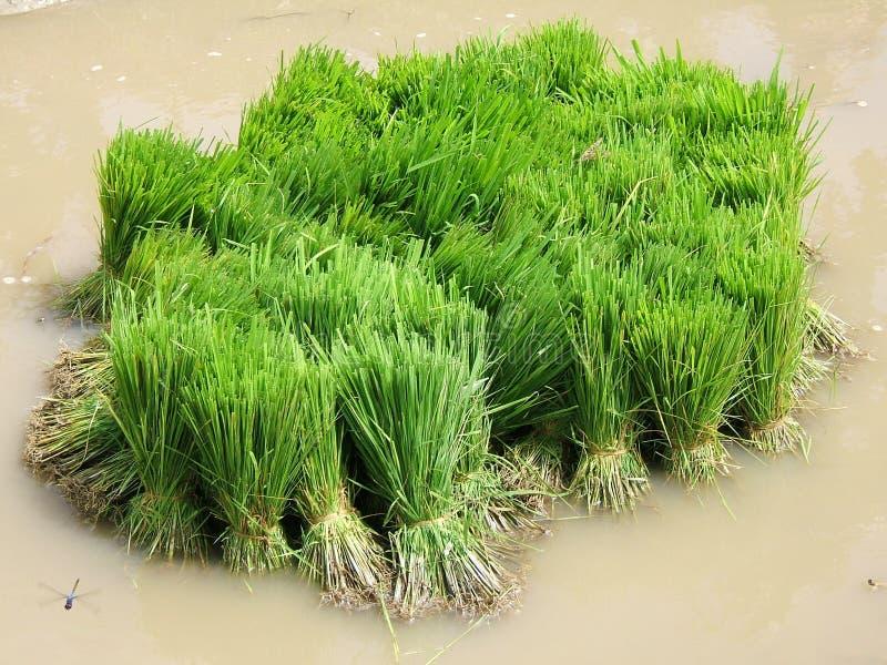 Rice plantation royalty free stock photos