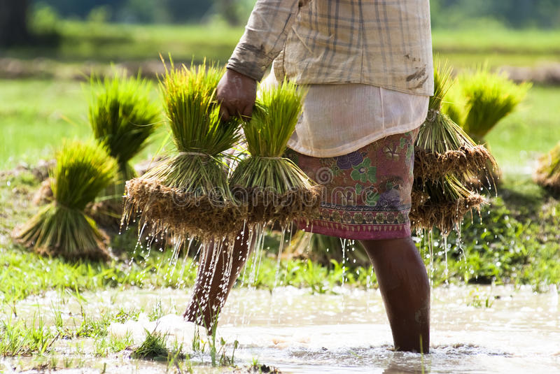 Download Rice plantation in Laos stock photo. Image of agriculture - 26635040