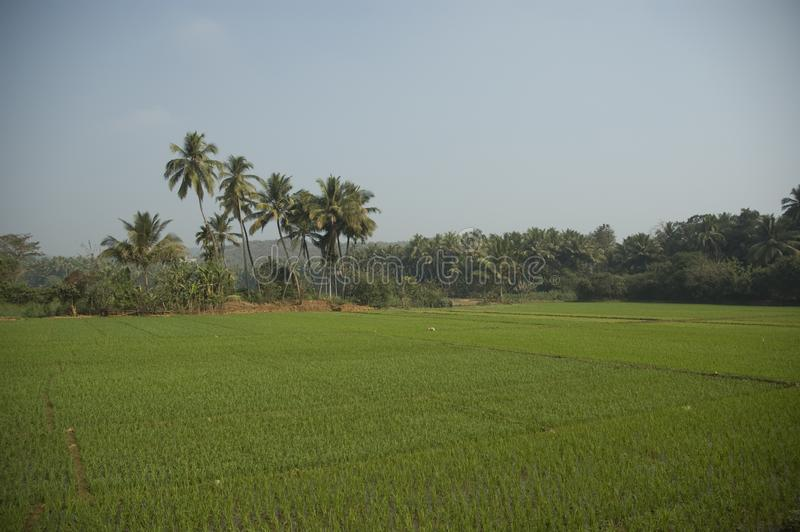 A rice plantation with no workers surrounded by palm trees stock image