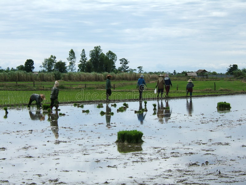 Rice plantation in Thailand royalty free stock photo