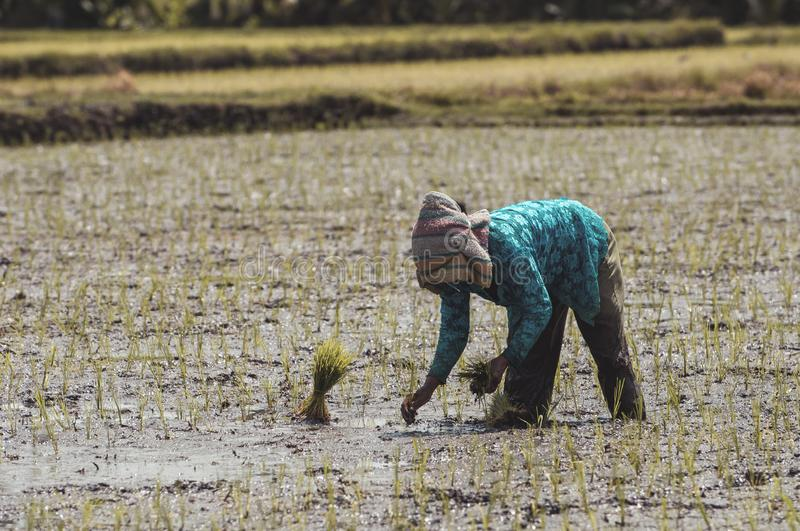 Rice planting in Indonesia Bali royalty free stock image