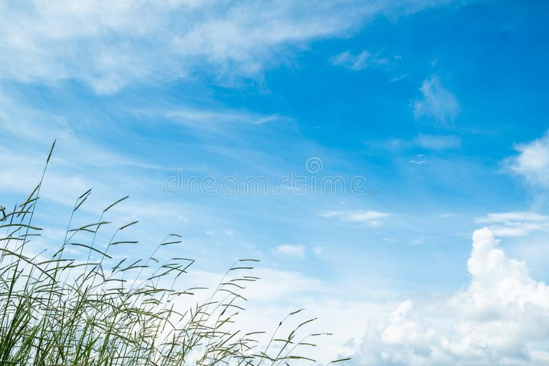 Rice plants and beautiful blue sky with cloudy. Beautiful blue sky with cloudy, there are rice plants as foreground, copy space, thailand, agriculture, asia royalty free stock photos