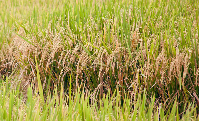 Rice plants in field royalty free stock images