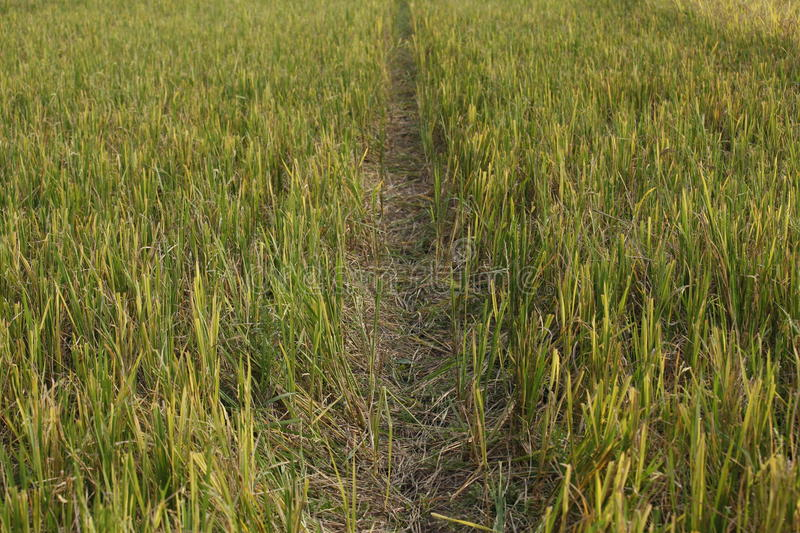 Rice Plants Just Before The Harvest stock images