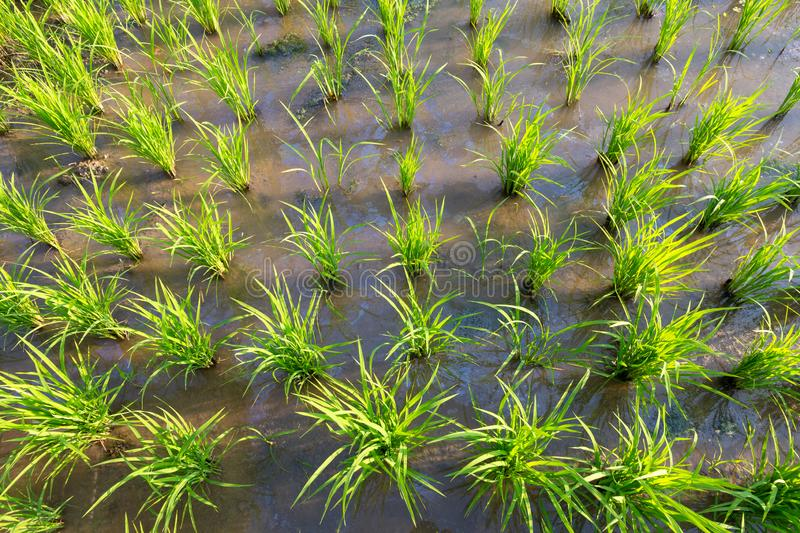 Rice Plants  or Organic rice in the water, sprout ready to growing in the rice field, growth concept royalty free stock image
