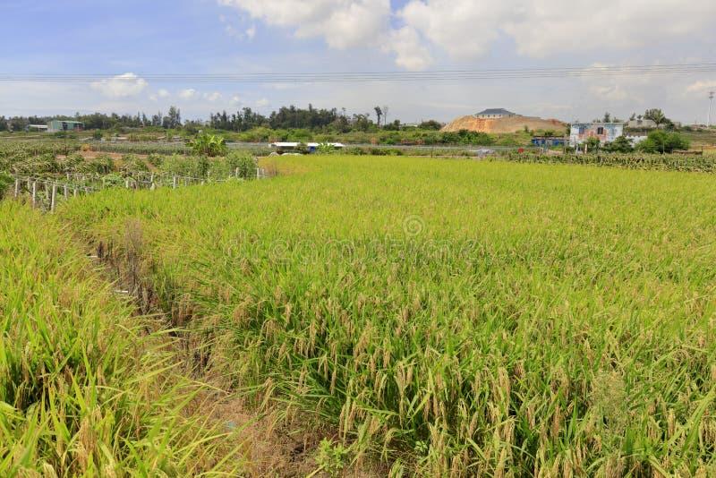 Rice pola żniwo, adobe rgb zdjęcia stock