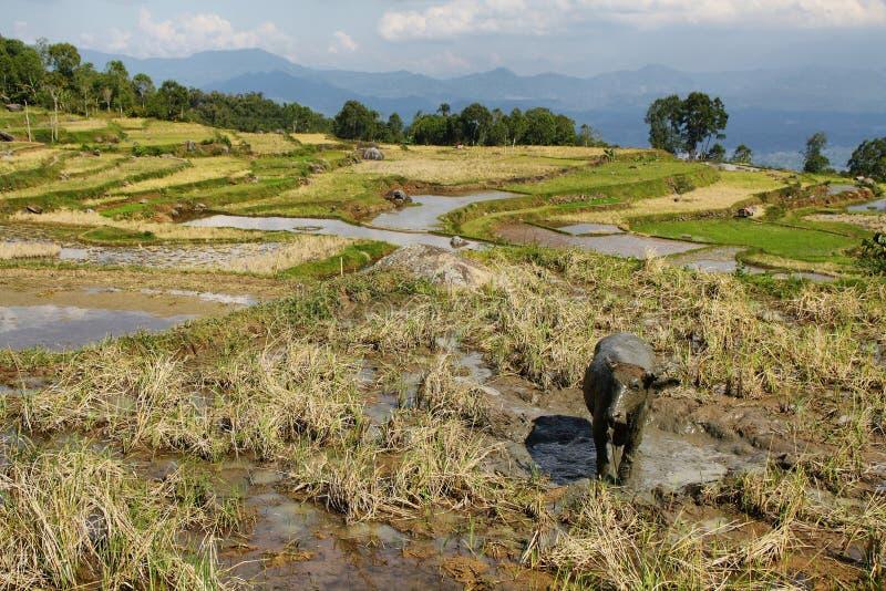 Rice pola blisko Batutumonga zdjęcie stock