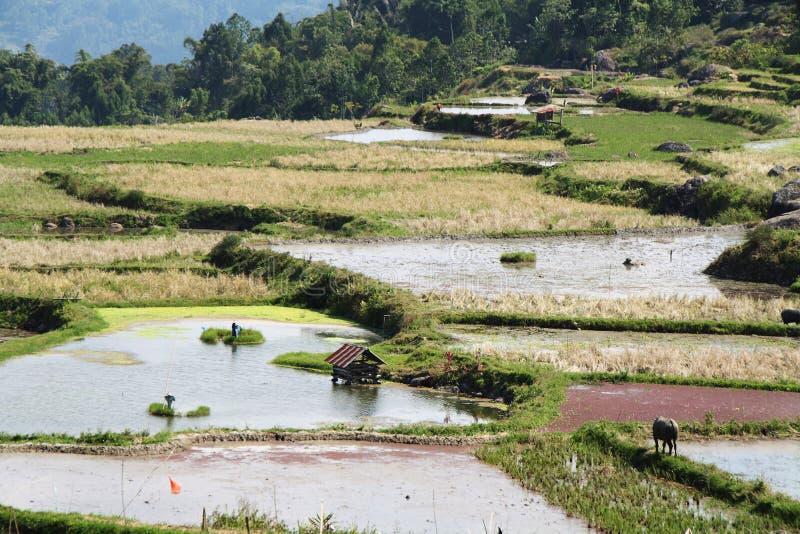 Rice pola blisko Batutumonga obrazy stock