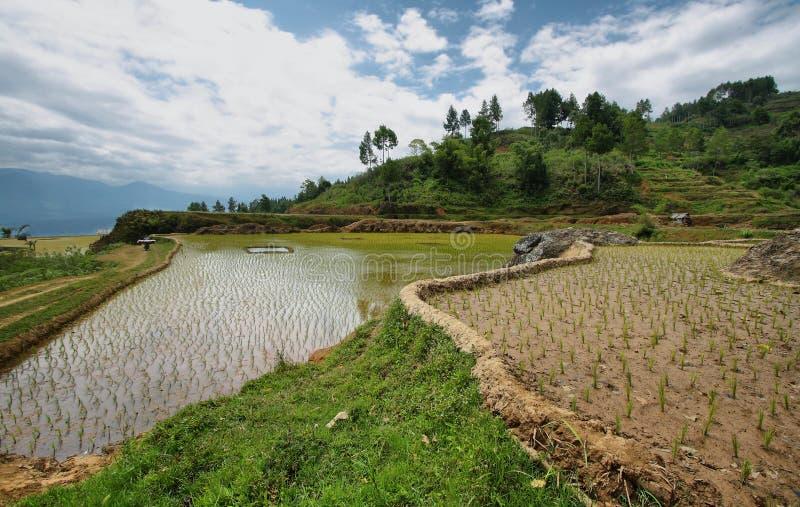 Rice pola blisko Limbong obraz stock