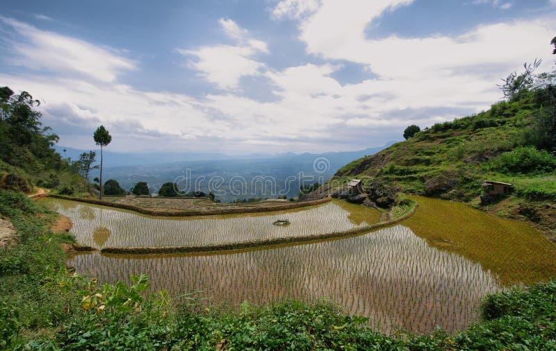 Rice pola blisko Limbong zdjęcia stock