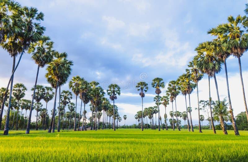 Rice pola i cukrowy drzewko palmowe obrazy royalty free