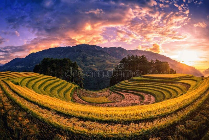 Rice pola na tarasowatym z sosną przy zmierzchem w Mu Cang Chai obrazy stock