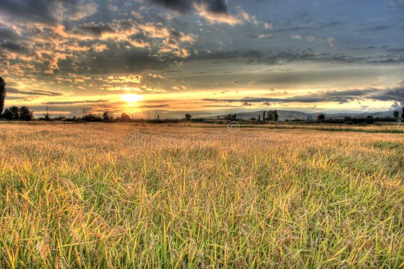 Rice pola przed żniwo czasem zdjęcia royalty free
