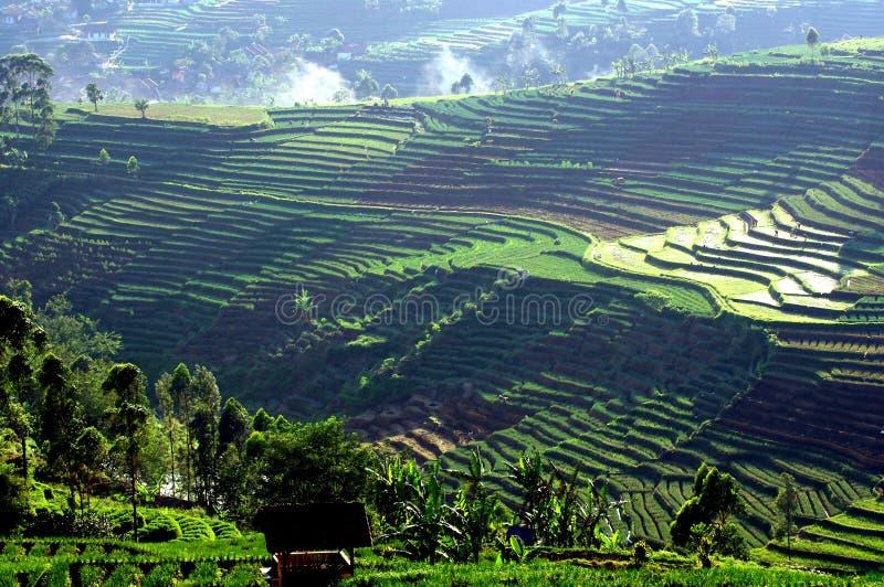 Rice pola tarasy w Jawa obraz royalty free