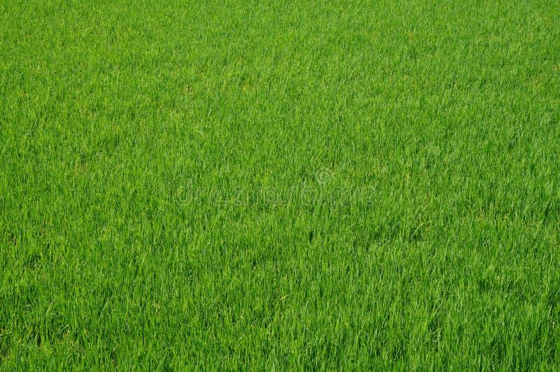 Rice pola tekstura zdjęcia stock