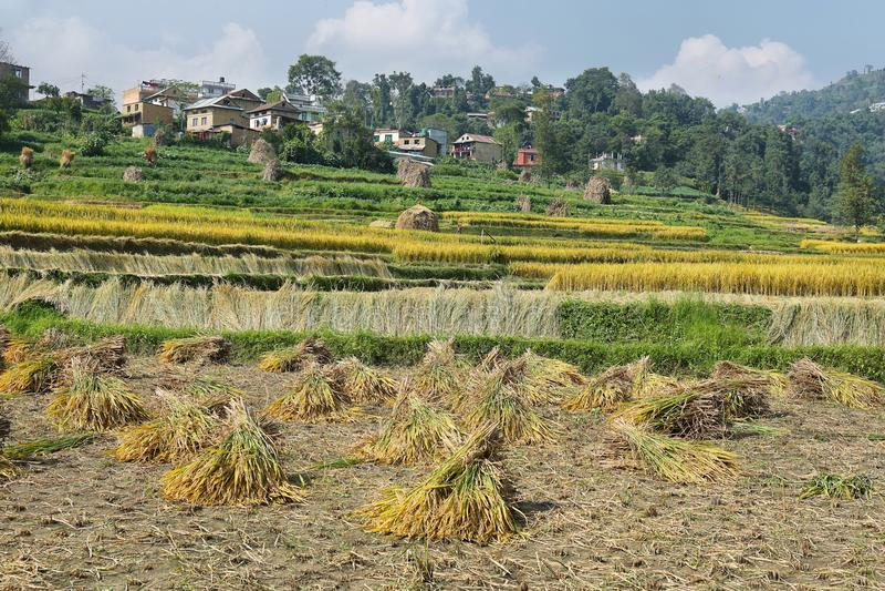 Rice pola w Batashi wiosce, Panauti, Nepal obrazy royalty free