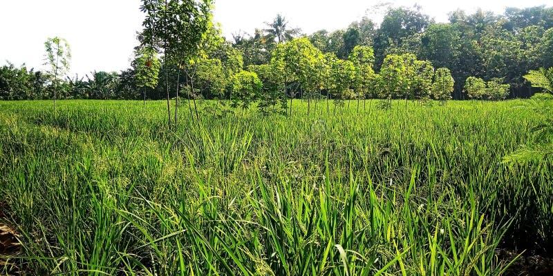 Rice pola z kasaw roślinami zdjęcie stock