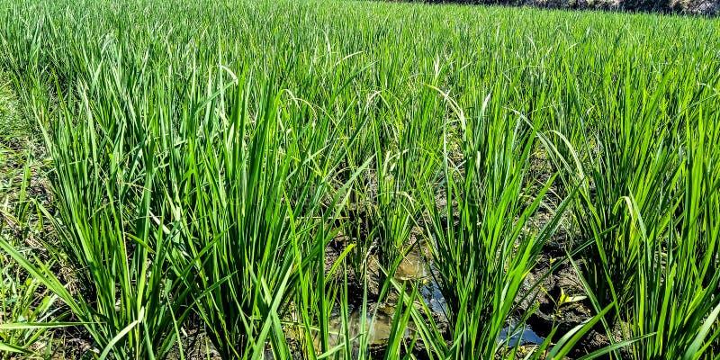 Rice pola z suchą wodą zdjęcia stock