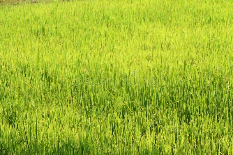 Rice pole, Indochina zdjęcia royalty free