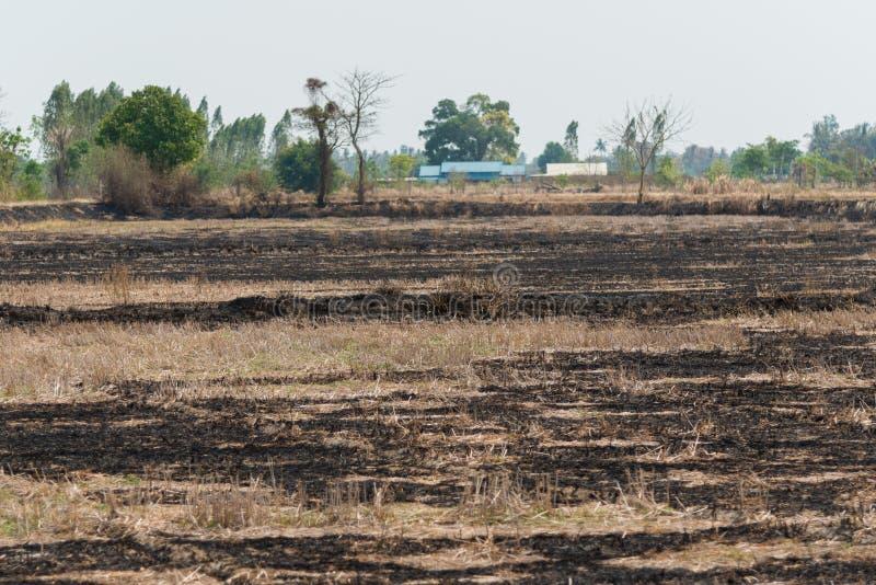 Rice pole po palący na słonecznym dniu fotografia royalty free