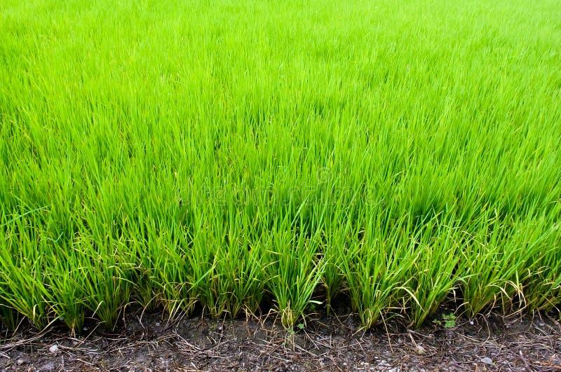 Rice pole, rolnictwa tło obrazy stock