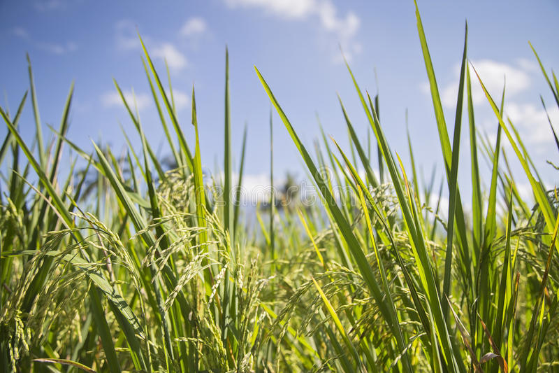 Rice pole w Indonezja obrazy royalty free
