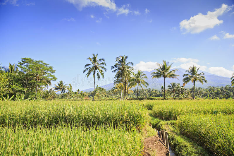 Rice pole w Indonezja fotografia stock