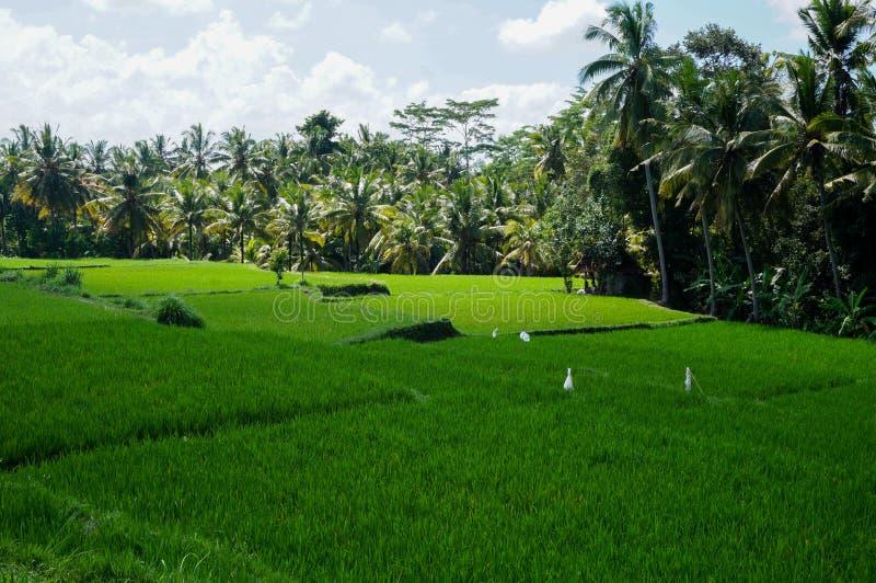 Rice pole w Ubud fotografia royalty free