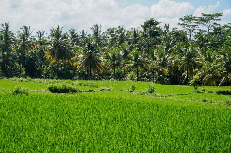 Rice pole w Ubud obraz royalty free